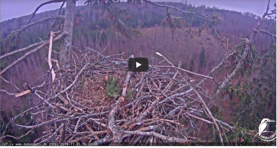 White tailed eagles Nest Live Cam - Durbe, Latvia 🇱🇻 1