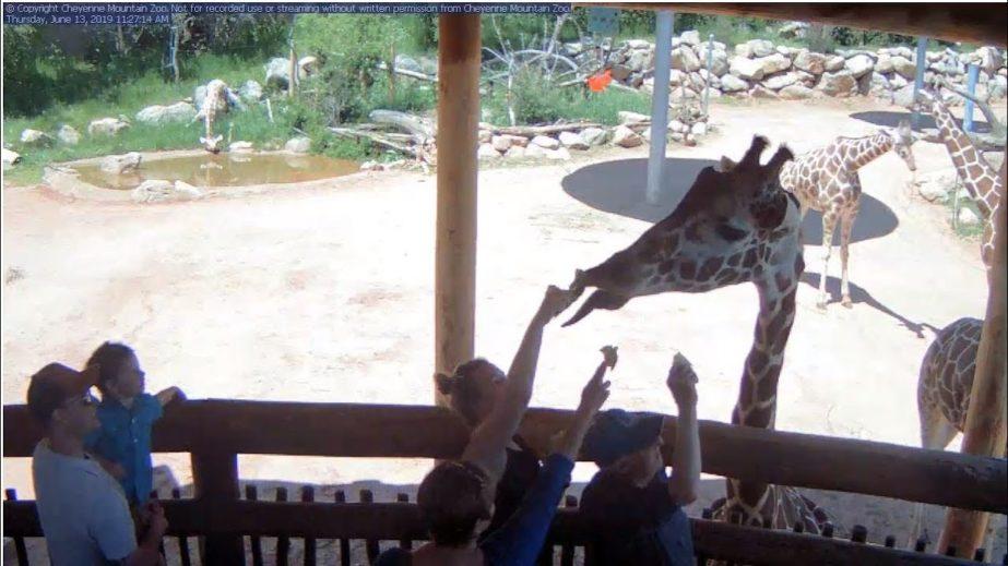 Live Cam USA, Cheyenne Mountain Zoo Giraffe Webcam 2
