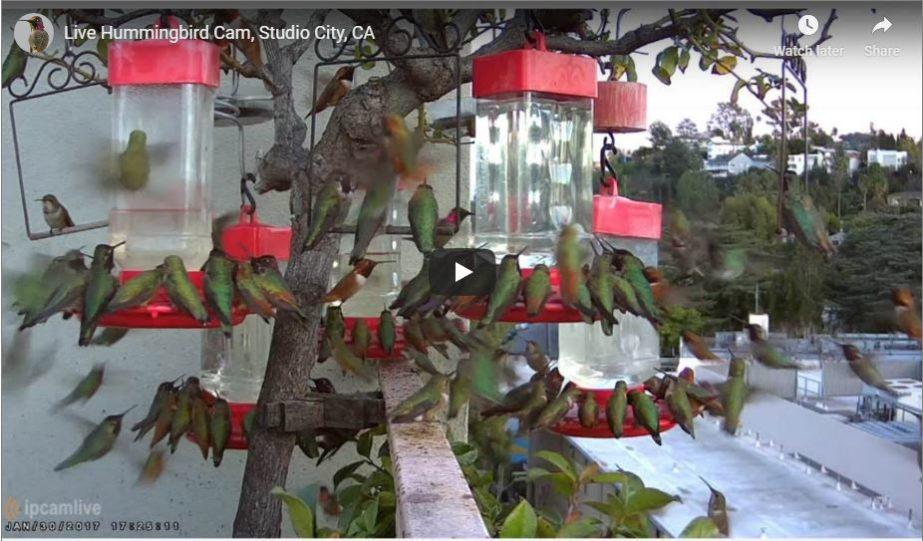 hummingbird live cam