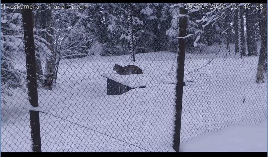 lynx live cam